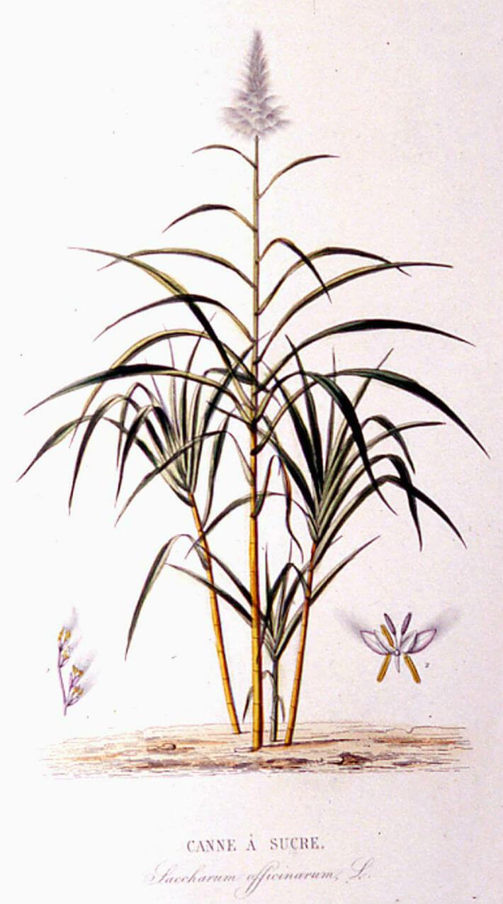 Plantes cultivées dans les plantations coloniales : canne à sucre, café cacao